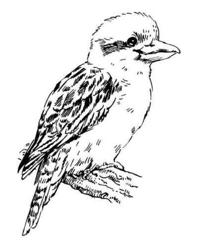 Line Drawings Of Australian Animals : Kookaburra coloring page